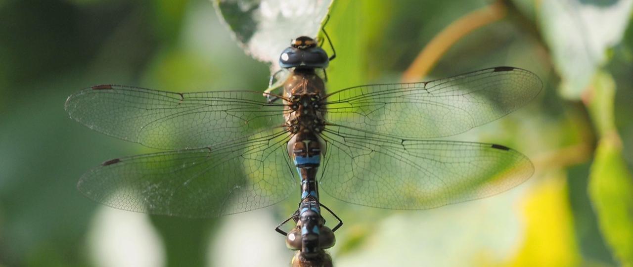 Turtelndes Libellenpaar bei Bredelem