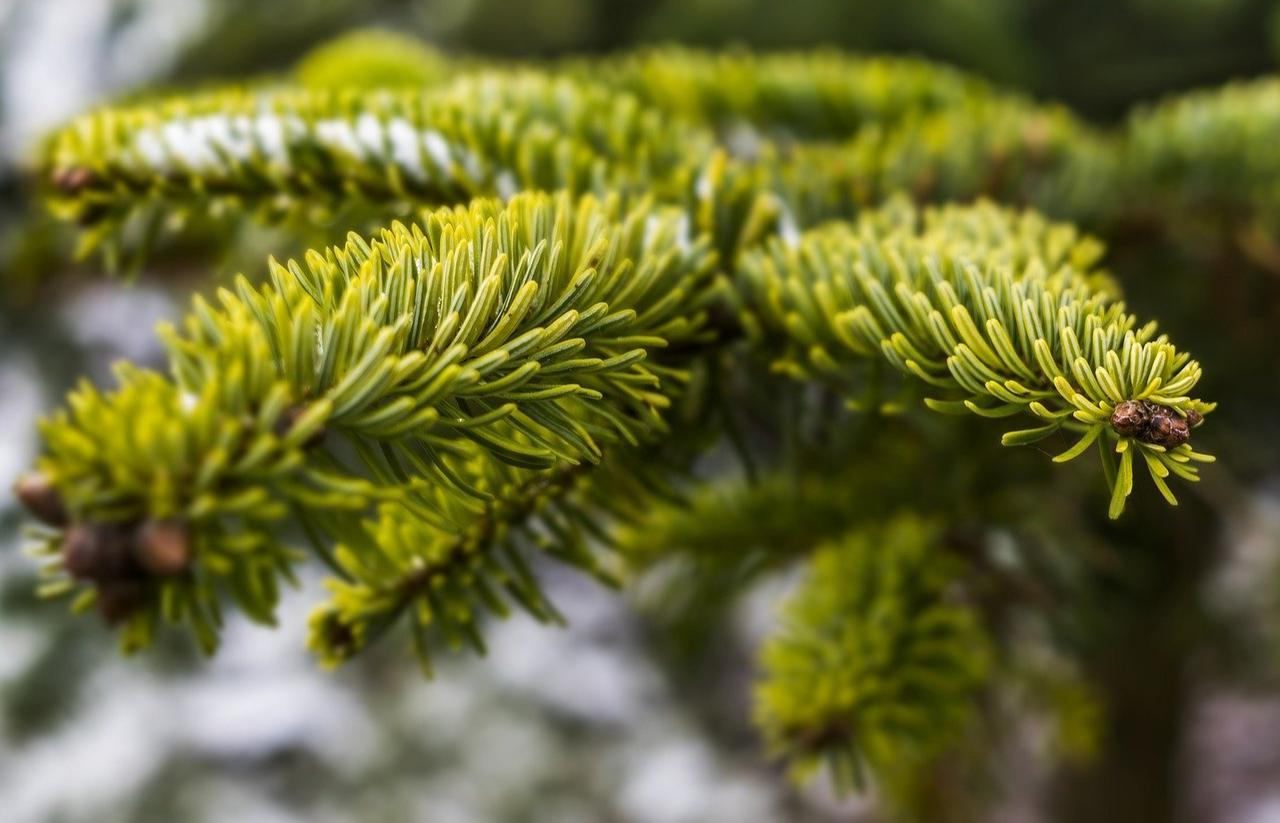 Forstamt verkauft wieder Schmuckreisig | Clausthal-Zellerfeld - GZ Live