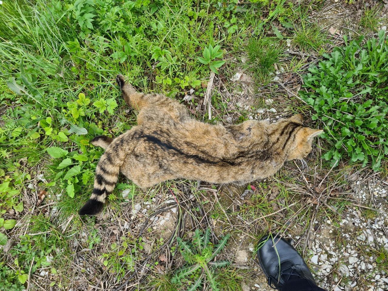 Polizisten finden tote Wildkatze