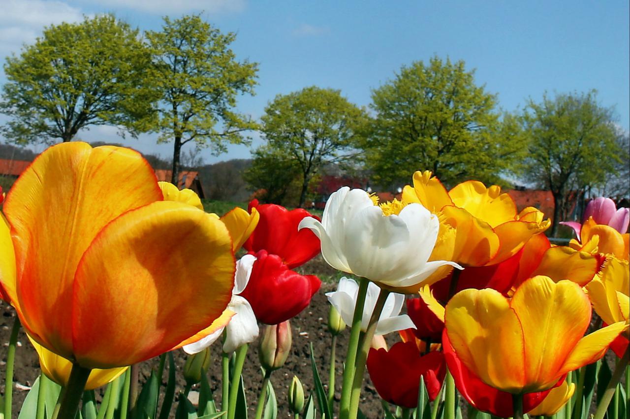 Vom  A und O der Tulpenblüte