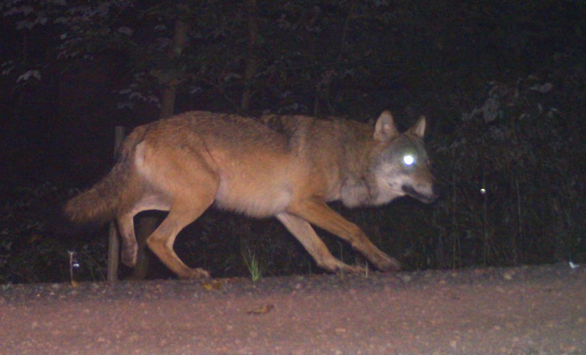 So sieht ein Wolf aus!