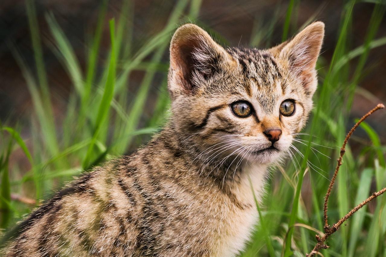 Wildkatzen: Expertin warnt vor Verwechslung