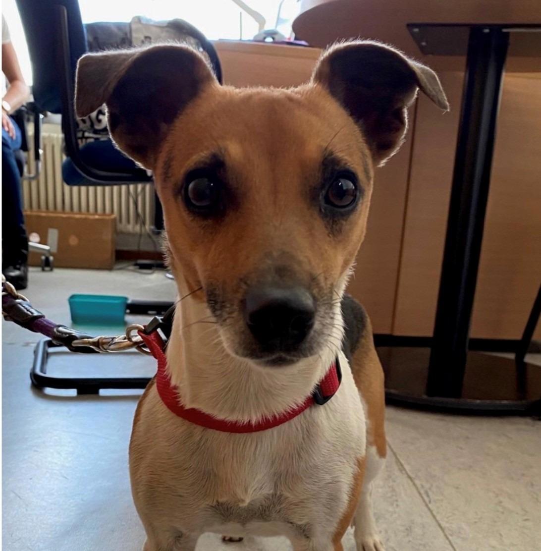 Jack Russell Terrier auf der B6 gefunden