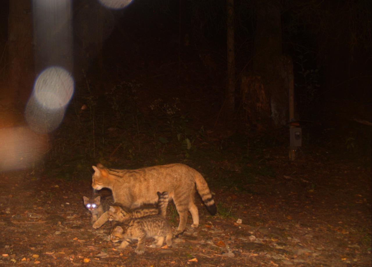 Wildkatzen spazieren in die Fotofalle