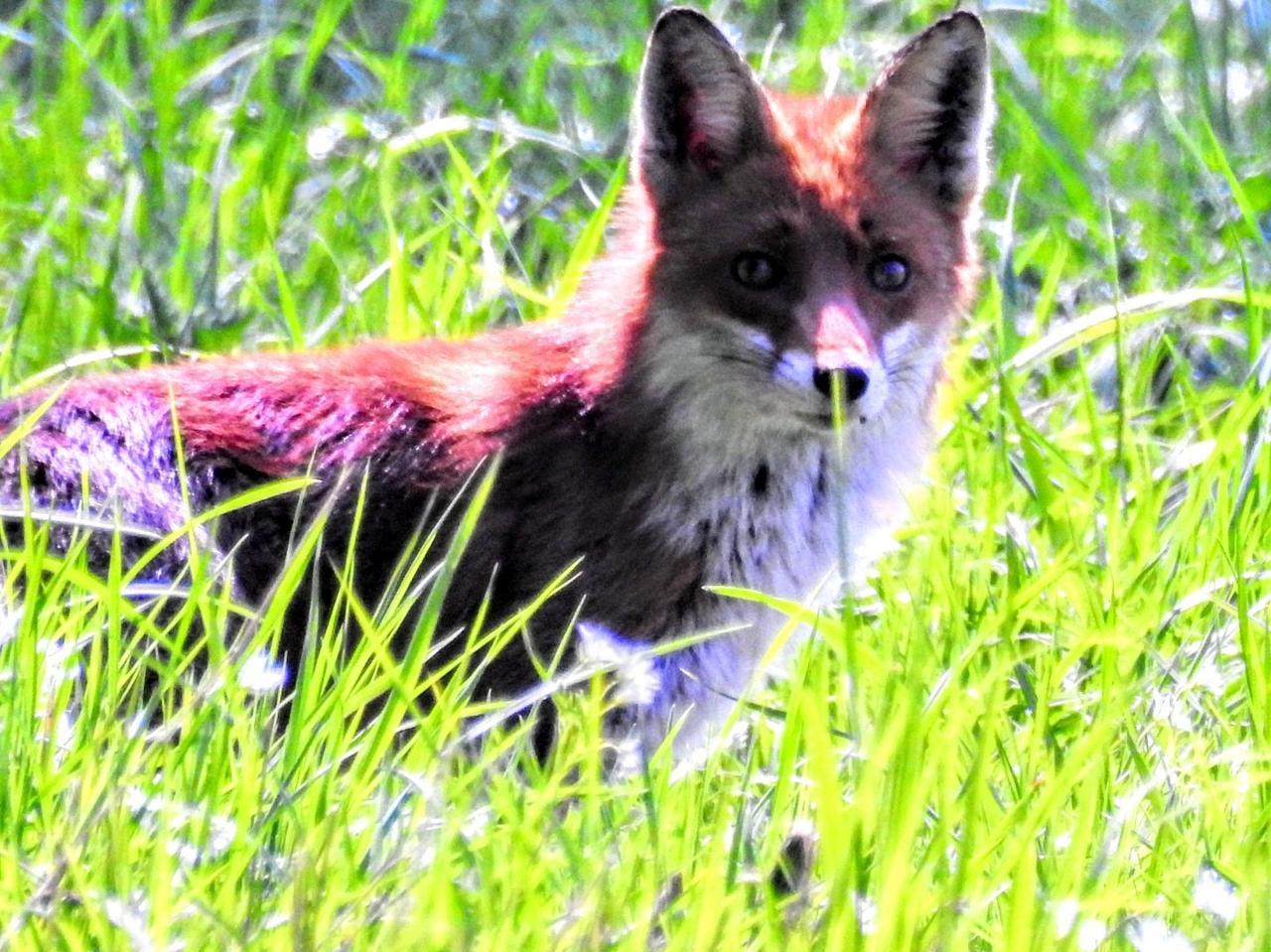 """Reineke"" schaut aus dem Gras hervor"