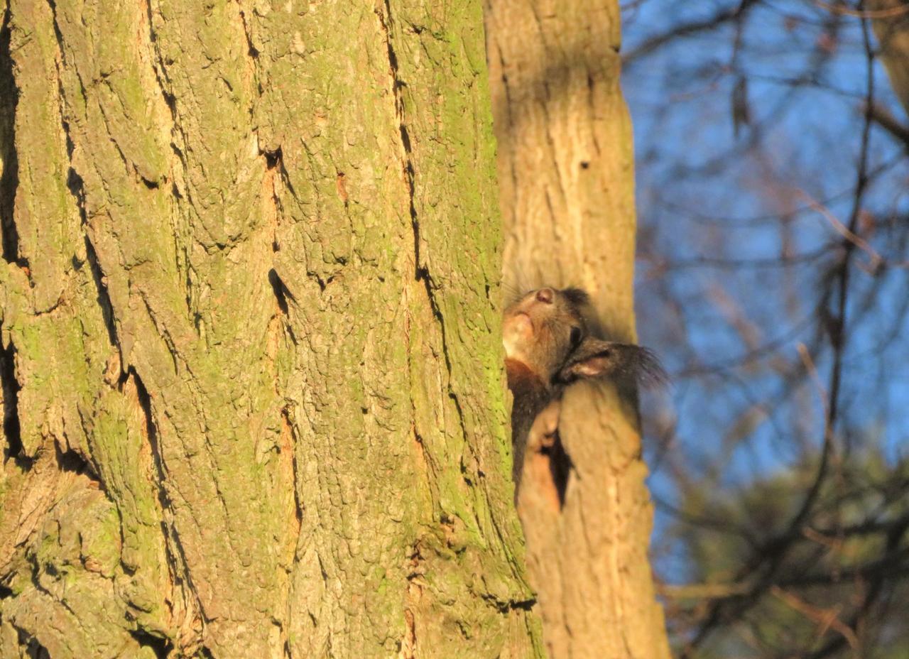 Eichhörnchen schielt hinterm Stamm hervor