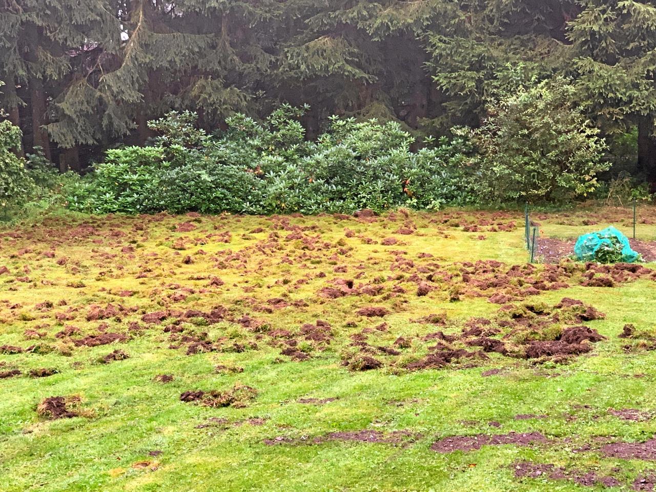 Wildschweine verwüsten Garten