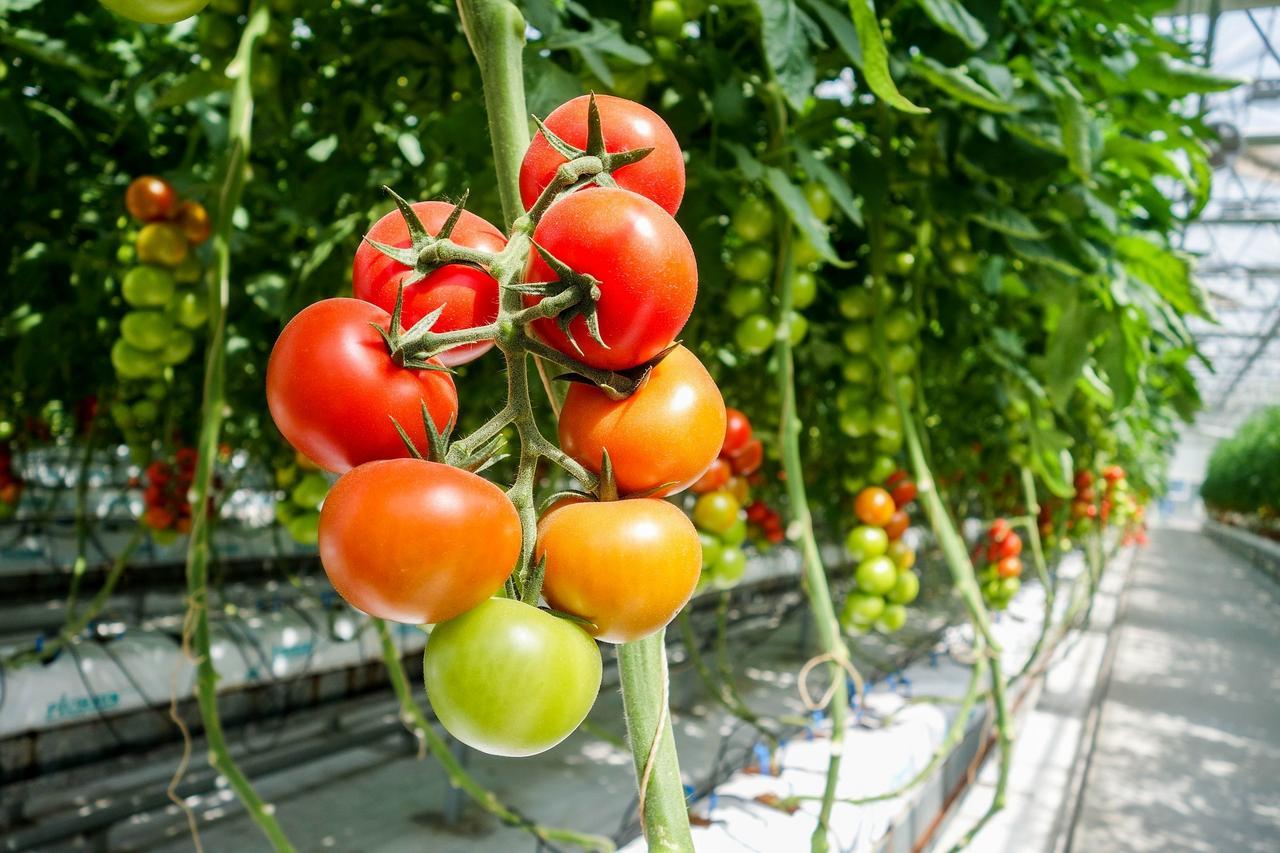 Den Sommer für Tomaten im Winter erzeugen