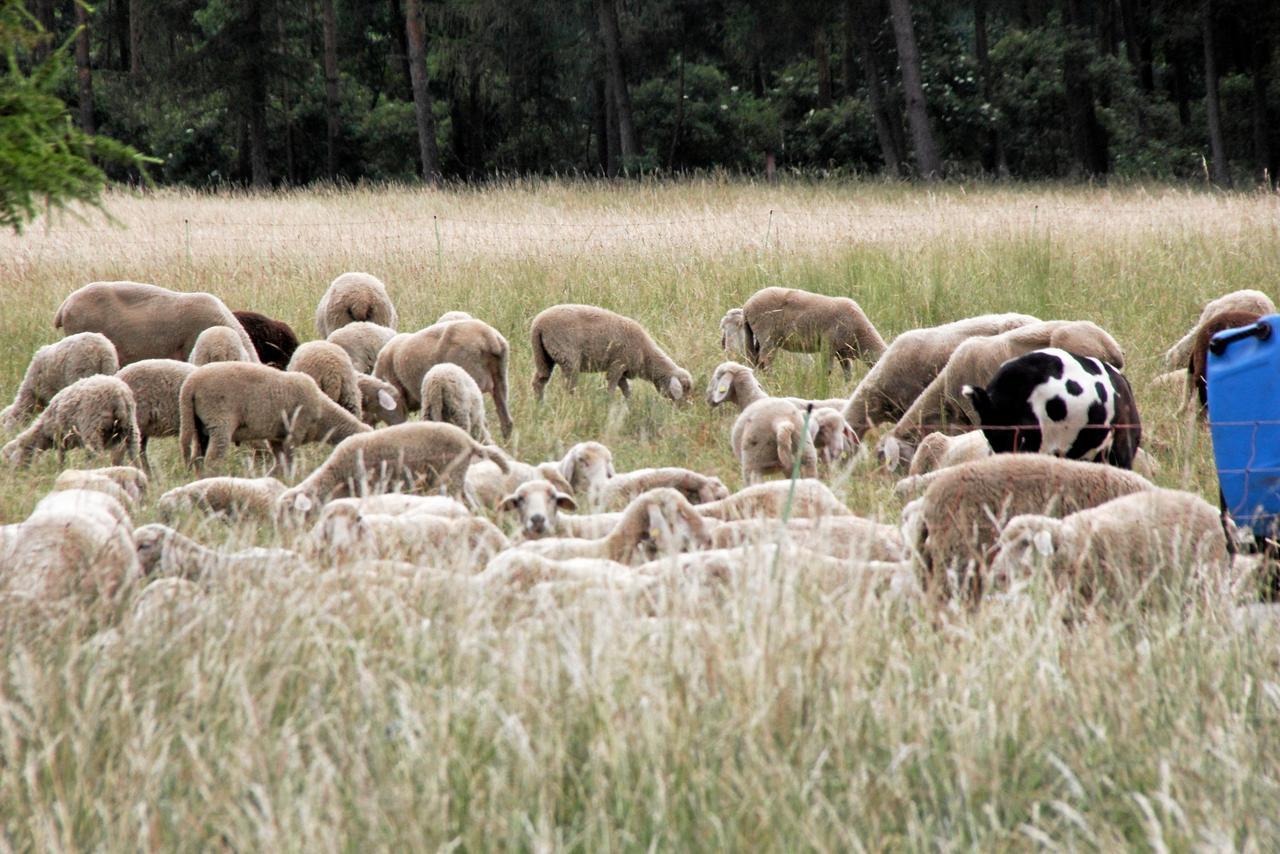 Schafe brechen zum dritten Mal aus