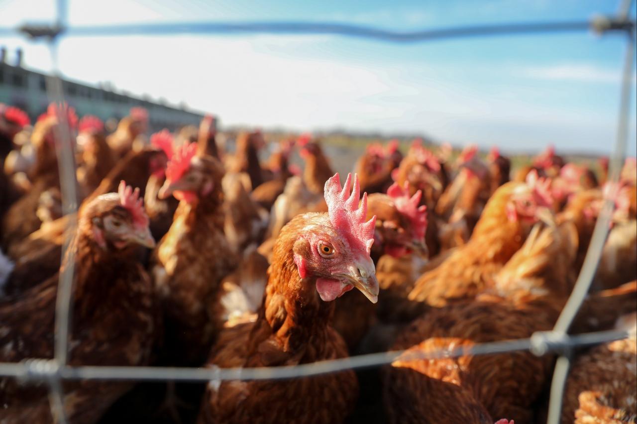 Geflügelpest in Niedersachsen erloschen