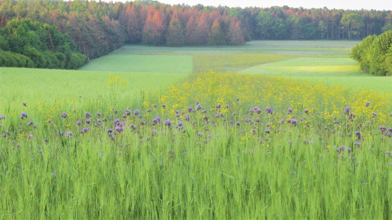 Frühsommerliches Farbenspiel auf dem Feld