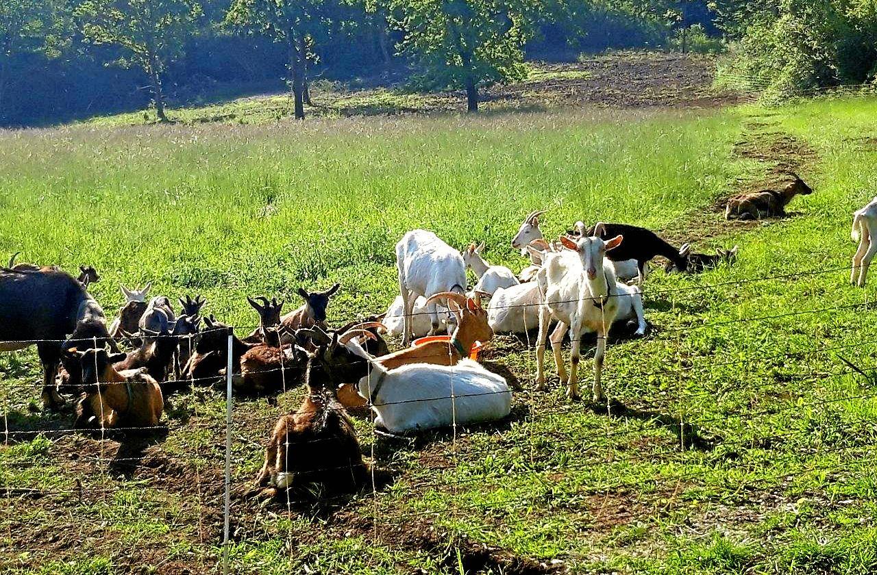 Hier übernehmen Ziegen das Rasenmähen