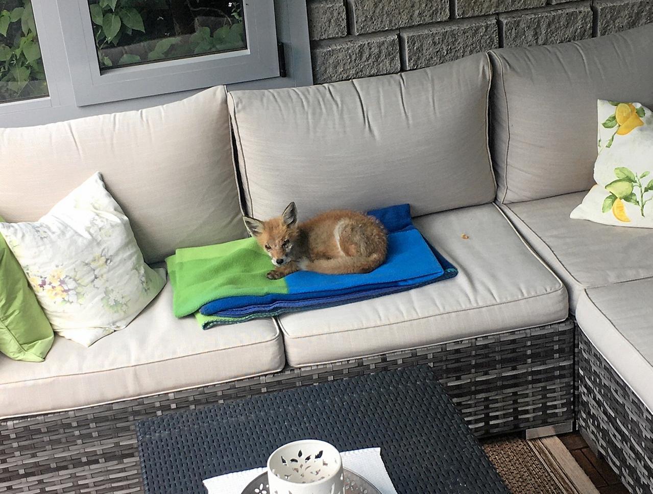 Junger Fuchs sitzt auf einmal auf dem Sofa