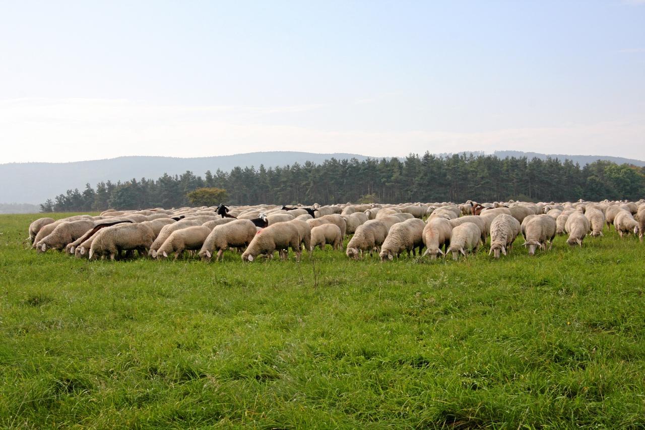 Schafherde büxt wieder aus