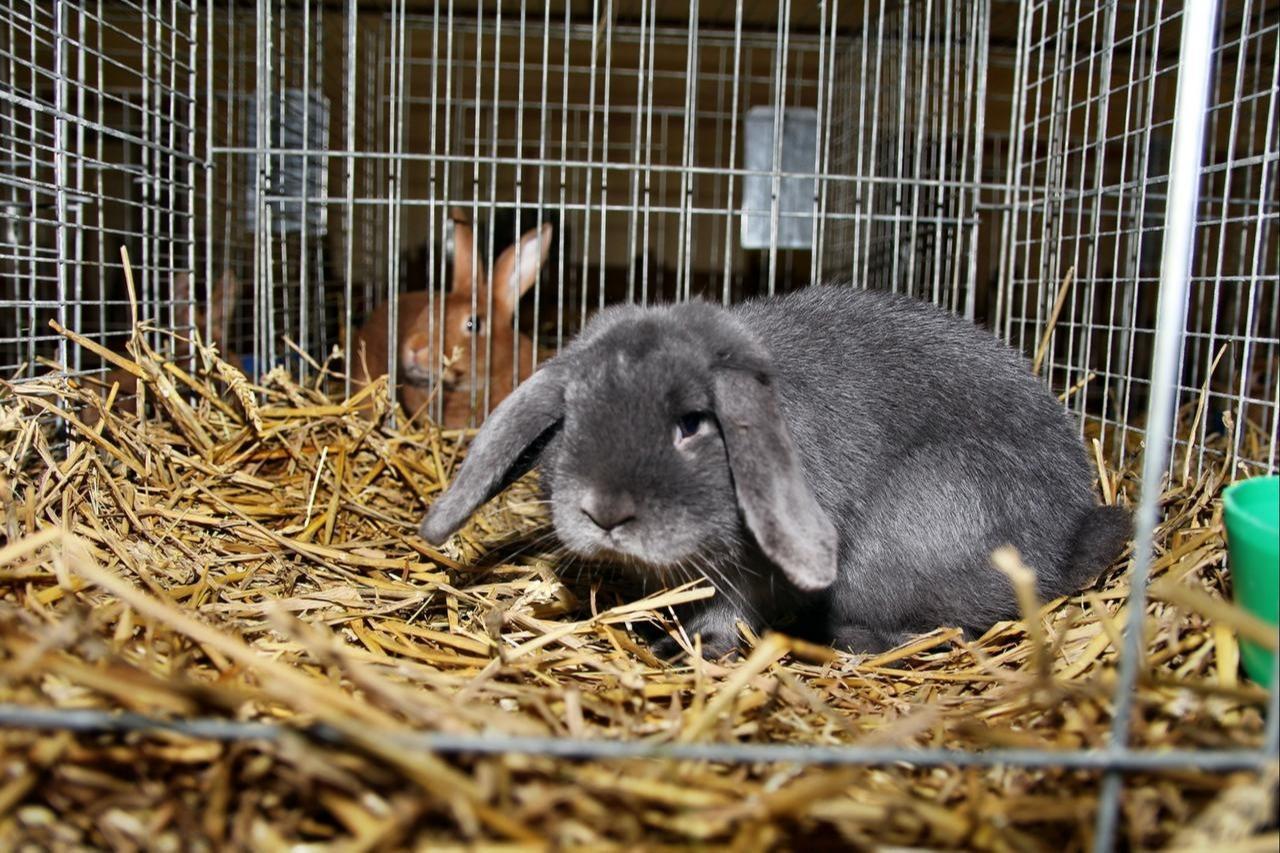 Kaninchenschau in Ostharingen