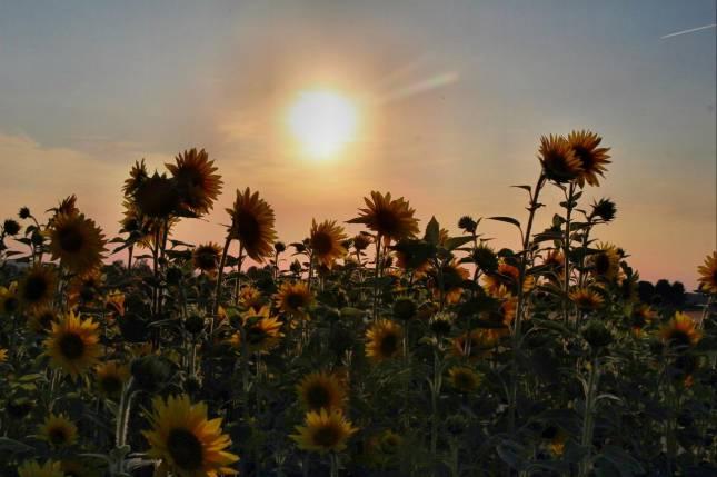 Sommerimpressionen mit Sonnenblumen