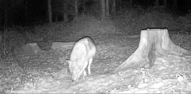 Wolf im Raum Wernigerode gesichtet