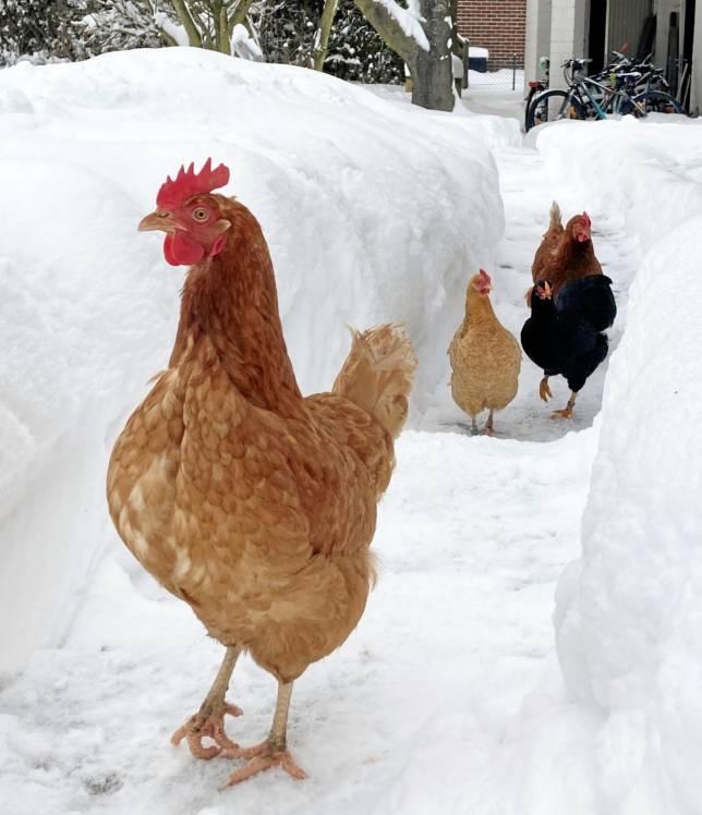 Hühner-Spaziergang im Schnee-Labyrinth