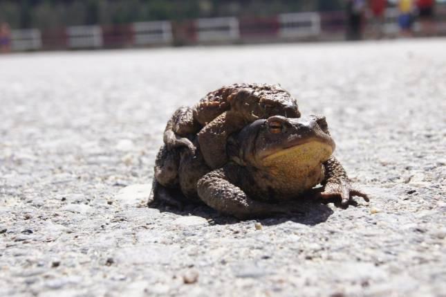 Krötenschutz: Kreisstraße gesperrt
