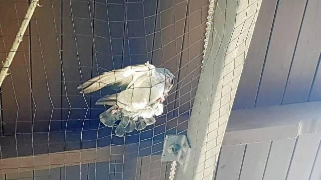 Tödliche Falle Taubennetz