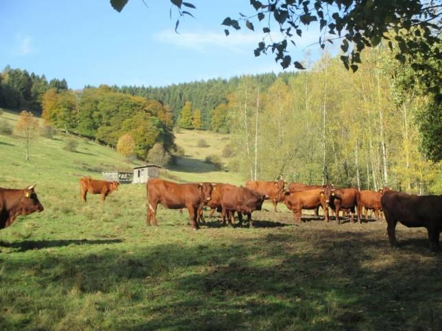 Eiben-Zweige: Kühe sterben an Vergiftung