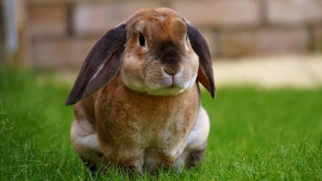 Lutteraner Züchter zeigen ihre Kaninchen