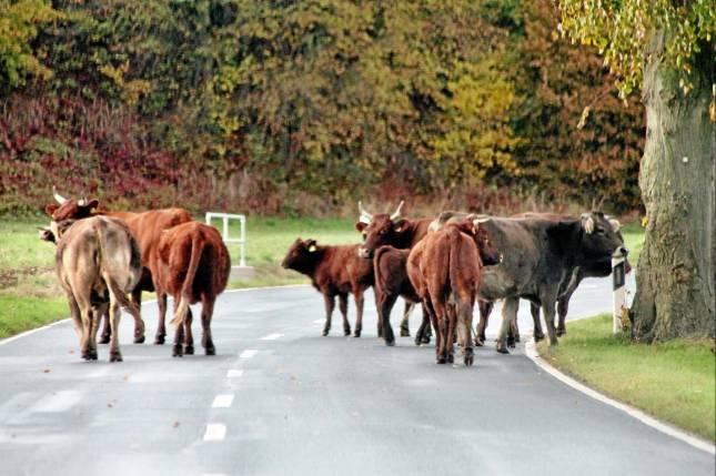 Rinder wandern auf der L 496 umher