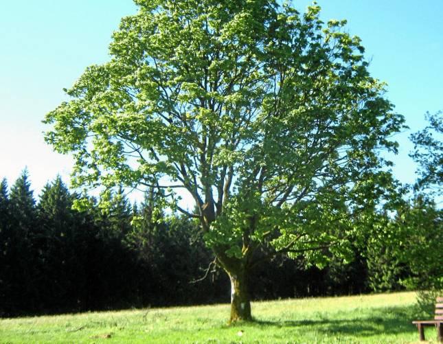 Zellerfelder Kugelbaum erfreut Generationen